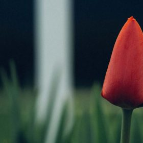 a single red tulip