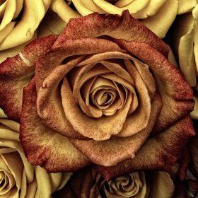 yellow and reddish roses