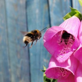 bee hovering next to flowers