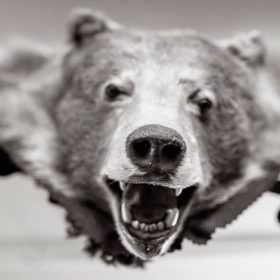 trophy bear head