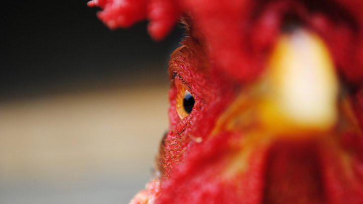 "chicken - imagery for ""Harvest"" by Ken Poyner"