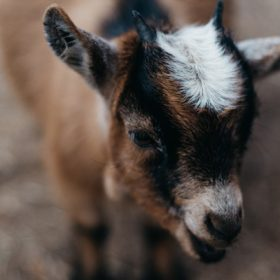 a goat, image for The Goat House by Eileen Van Hook