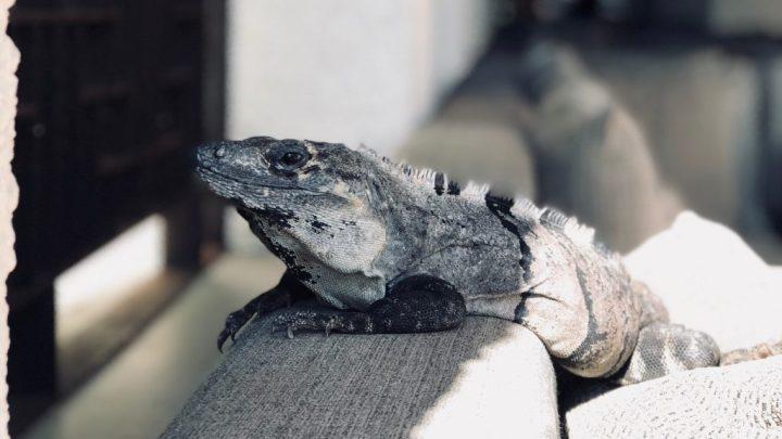 """Iguana, image for """"Pet Sitting a Spitting Iguana"""" by Monica Flegg"""
